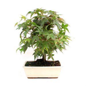Bonsai 10 años Acer palmatum deshojo