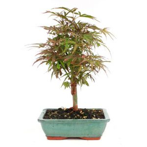 Bonsai 10 años Acer palmatum jerre swartz
