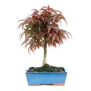 Bonsai 10 años Acer palmatum shaina