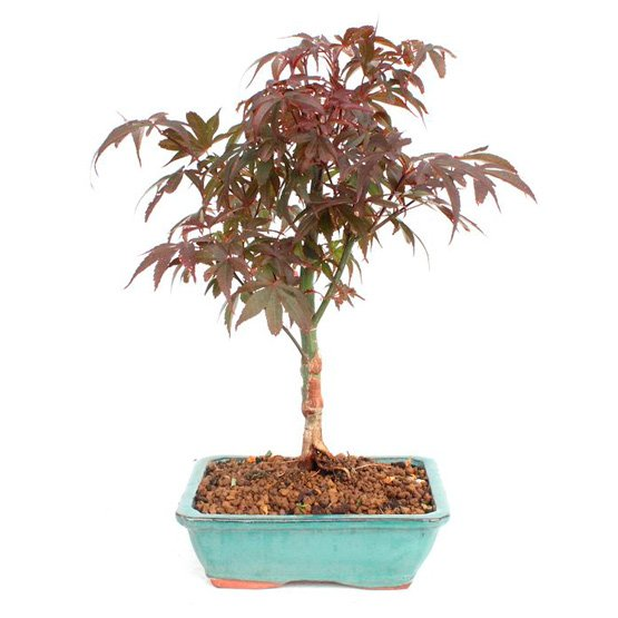 Bonsai 10 años Acer palmatum skeeters Broom