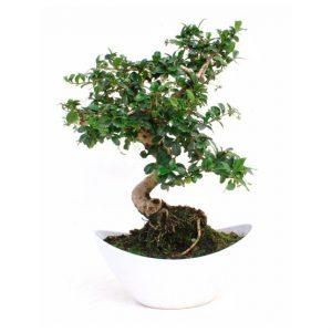 Bonsai 10 años Carmona microphylla (Elegance)