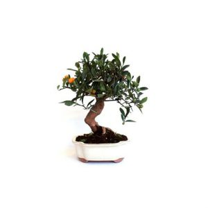 Bonsai 10 años Citrus kinzu ZP-E
