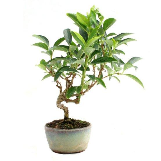 Bonsai 10 años Forsythia sp.