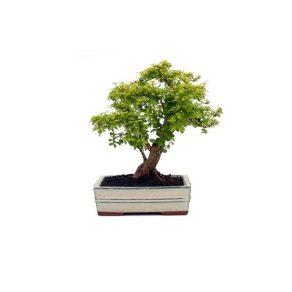 Bonsai 10 años Ligustrum aurea