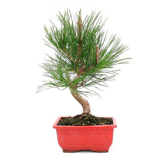 Bonsai 10 años Pinus thunbergii
