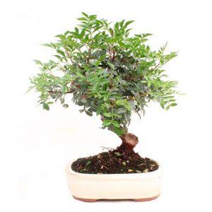 Bonsai 10 años Pistacia lentiscus