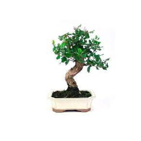 Bonsai 10 años Quercus suber