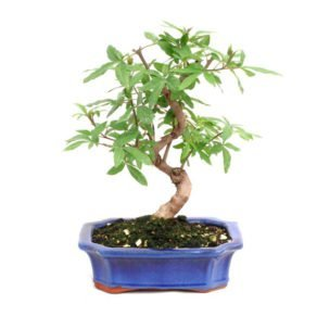Bonsai 10 años Vitex sp.