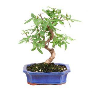 Bonsai 10 años Vitex sp.