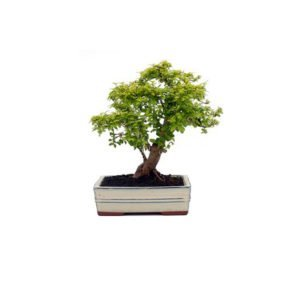 Bonsai 10 años Ligustrum aurea