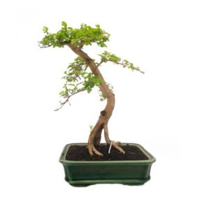 Bonsai 10 años Ligustrum aurea Indonesia