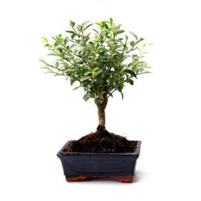 Bonsai 5 años Ligustrum variagata