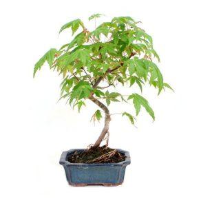 Bonsai 6 años Acer palmatum