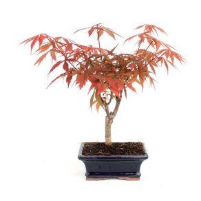Bonsai 6 años Acer palmatum atropurpureum