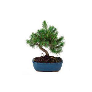 Bonsai 6 años Pinus halepensis