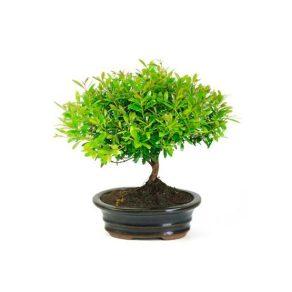 Bonsai 6 años Syzigium buxifolium