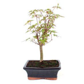 Bonsai 7 años Acer palmatum