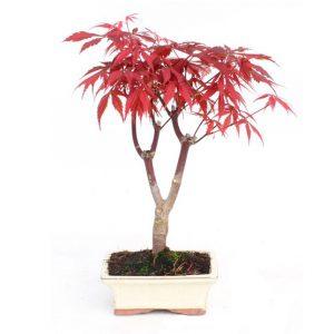 Bonsai 7 años Acer palmatum atropurpureum