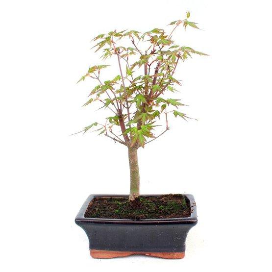Bonsai 7 a os acer palmatum bons i arce japon s - Arce japones cuidados ...