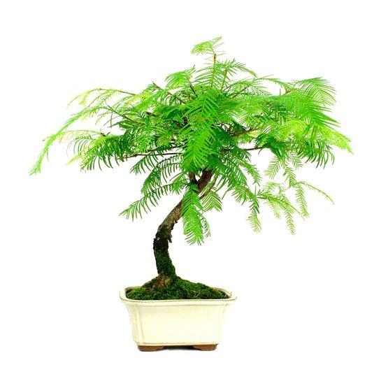 Bonsai 7 años Metasequoia sp.