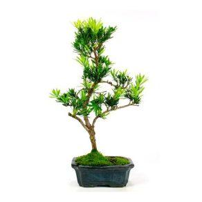 Bonsai 7 años Podocarpus macrophyllus