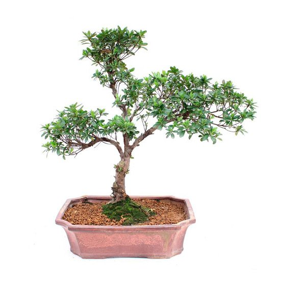 Bonsai 7 años Syzigium buxifolium