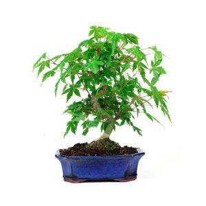 Bonsai 8 años Acer palmatum