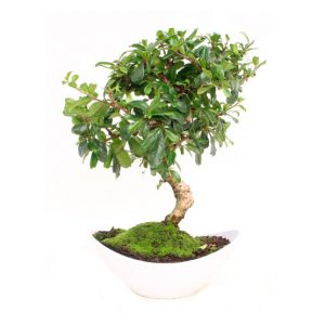 Bonsai 8 años Carmona microphylla (Elegance)