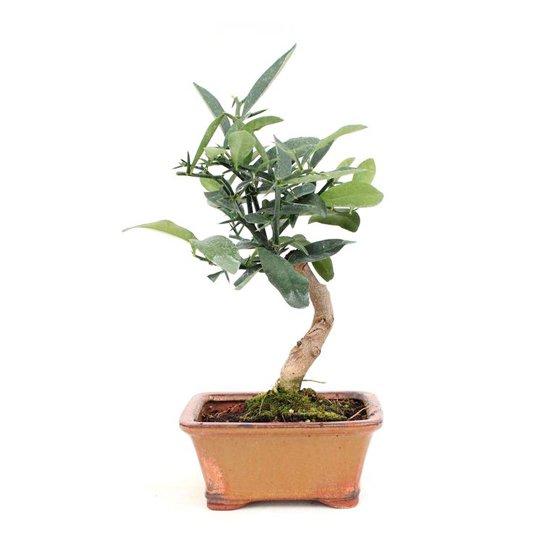 Bonsai 8 años Citrus kinzu ZP-E