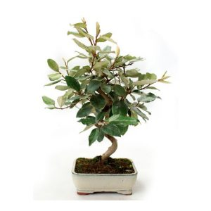 Bonsai 8 años Eleagnus sp.