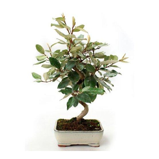 Bonsai 8 años Eleagnus sp.