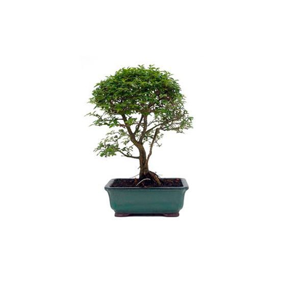 Bonsai 8 años Ligustrum sp.