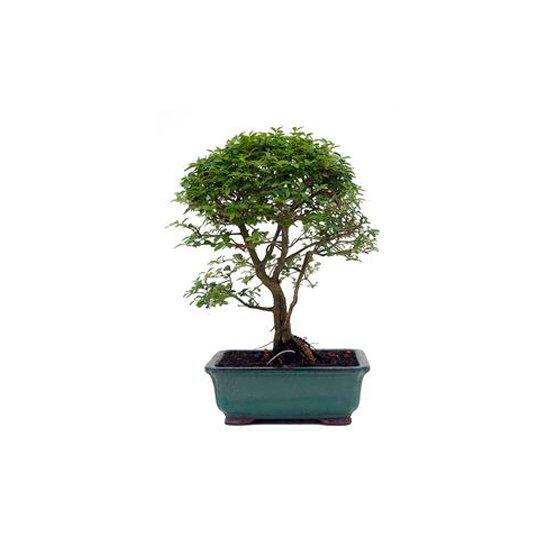 Bonsai 8 años Ligustrum sp.