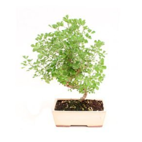 Bonsai 8 años Medicago sp.