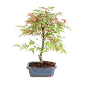 Bonsai 9 años Acer palmatum