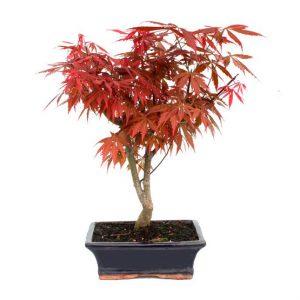 Bonsai 9 años Acer palmatum atropurpureum