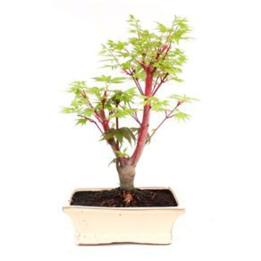Bonsai 9 años Acer palmatum sango