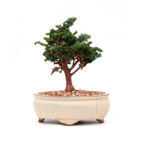 Bonsai 9 años Chamaecyparis obtusa