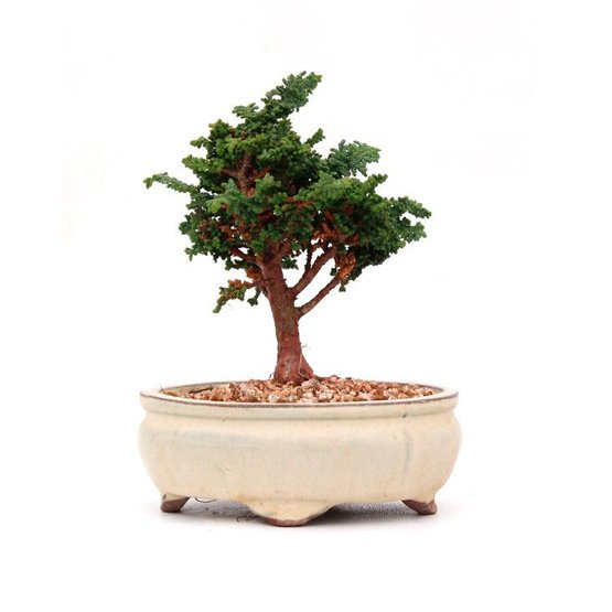 Bonsai 9 años Chamaecyparis obtusa