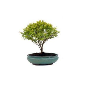 Bonsai 9 años Ligustrum sp.