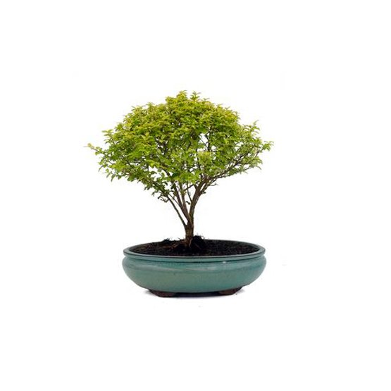 Bonsai 9 años Ligustrum sp.