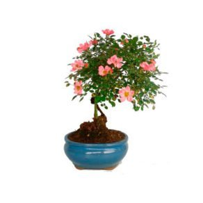 Bonsai 9 años Rosa sp.