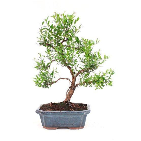 Bonsai 9 años Syzigium buxifolium