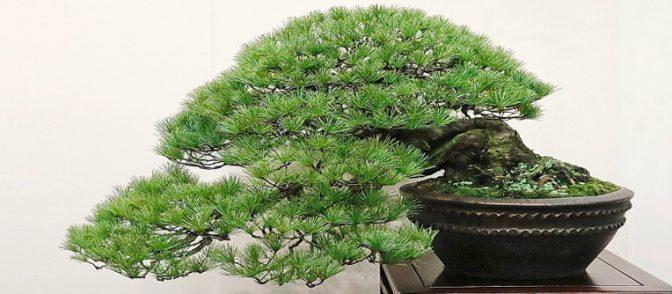 bonsai nippon