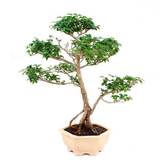 Bonsai-09-anos-Ligustrum-sp.-Indonesia-2