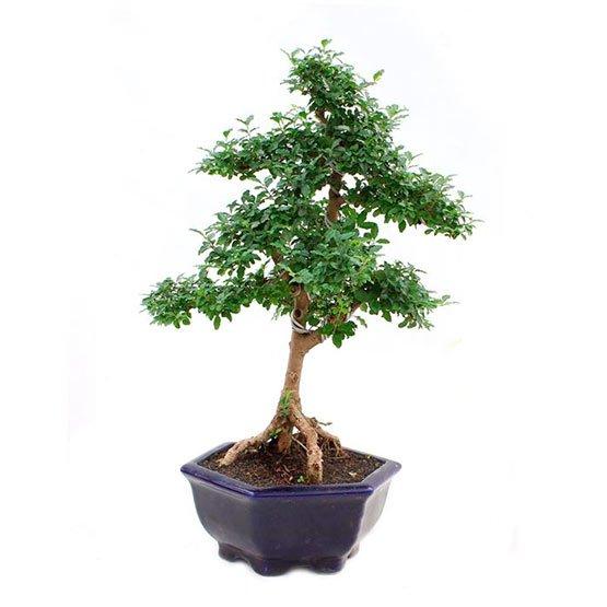 Bonsai-10-anos-Ligustrum-sp.-Indonesia 2