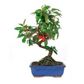 Bonsai-10-anos-Malus-sp.-ZP-E