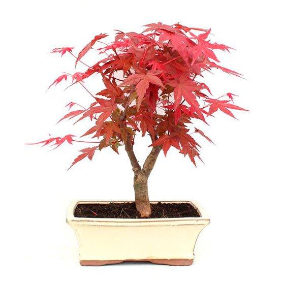 Bonsai Acer