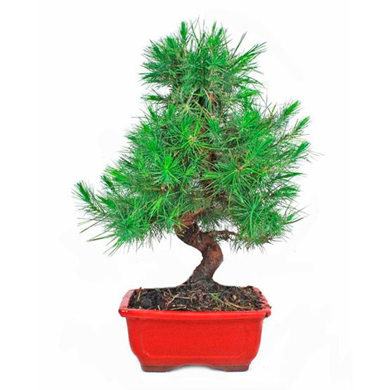 Bonsai-9-anos-Pinus-halepensis
