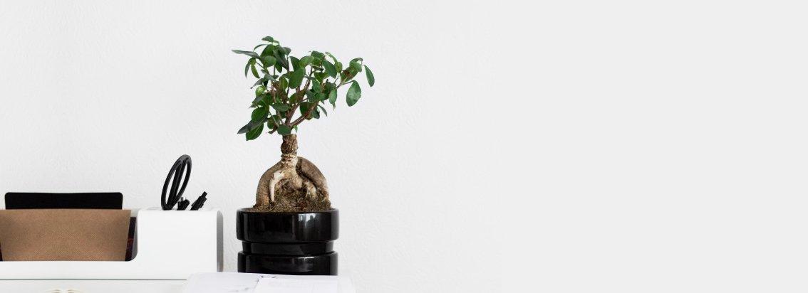 tienda bonsai online